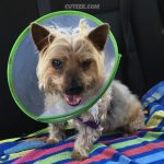 Silky Terrier Wearing a Cone of Shame or Lampshade after surgery