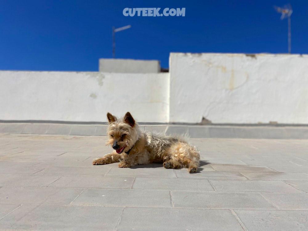 Silky Terrier Sunbathing