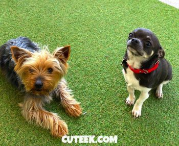 Yorkie and Chihuahua Fight