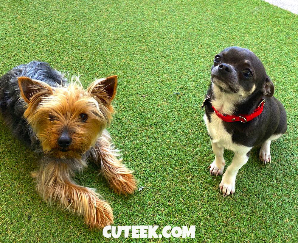 Yorkie and Chihuahua Fight | The Adventures of Chester and Cooper