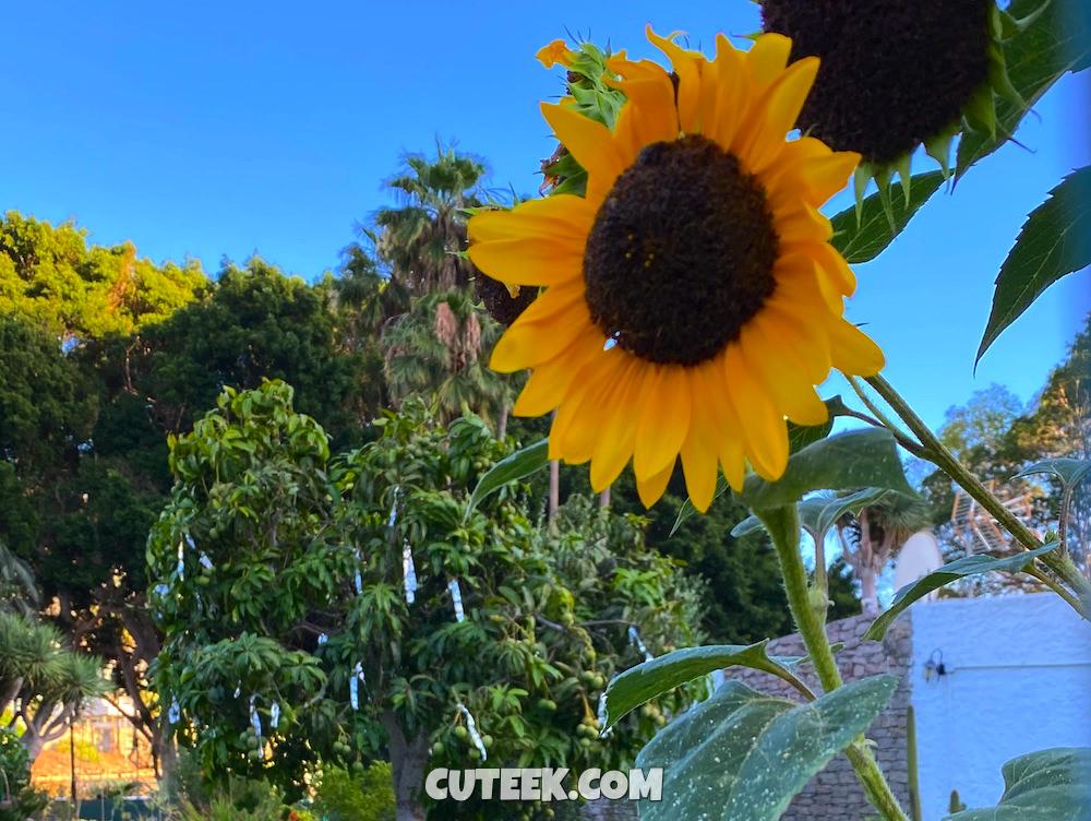 A sunflower against blue sky background