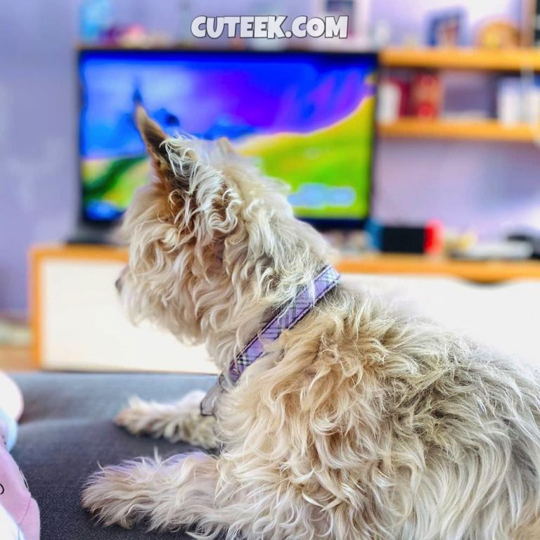 Silky Terrier Relaxed on Sofa with Fortnite in the background