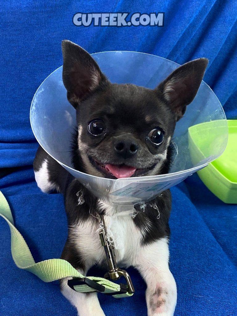 Smiling Chihuahua Cone of Shame
